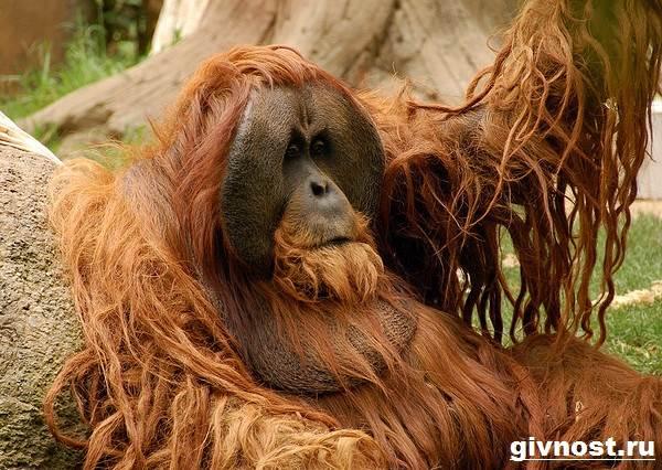 Орангутанг-обезьяна-Образ-жизни-и-среда-обитания-орангутанга-5