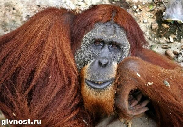 Орангутанг-обезьяна-Образ-жизни-и-среда-обитания-орангутанга-6