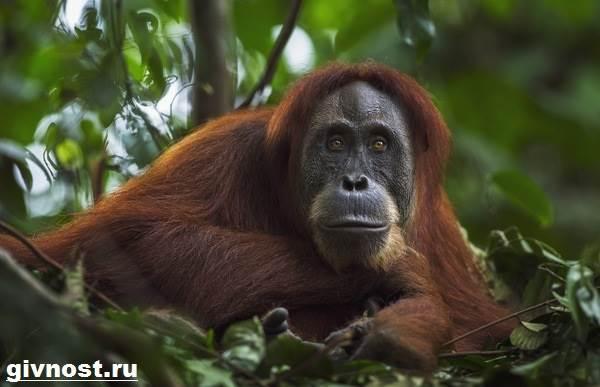 Орангутанг-обезьяна-Образ-жизни-и-среда-обитания-орангутанга-7