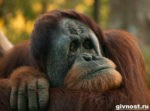 Орангутанг-обезьяна-Образ-жизни-и-среда-обитания-орангутанга-8