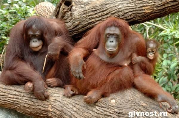 Орангутанг-обезьяна-Образ-жизни-и-среда-обитания-орангутанга-9