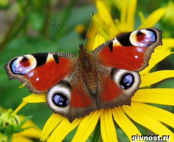 Павлиний-глаз-бабочка-Образ-жизни-и-среда-обитания-бабочки-павлиний-глаз-2
