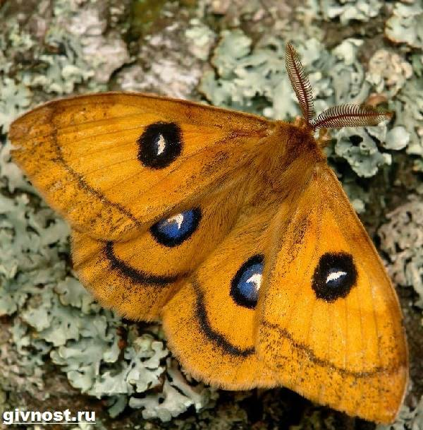 Павлиний-глаз-бабочка-Образ-жизни-и-среда-обитания-бабочки-павлиний-глаз-3