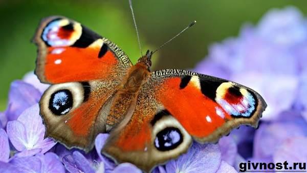 Павлиний-глаз-бабочка-Образ-жизни-и-среда-обитания-бабочки-павлиний-глаз-5