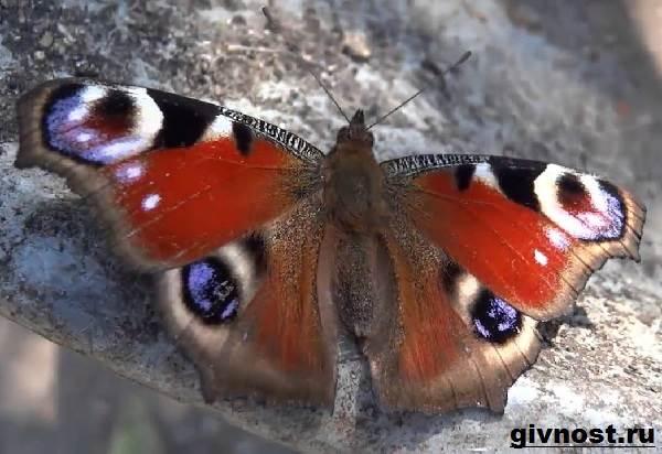 Павлиний-глаз-бабочка-Образ-жизни-и-среда-обитания-бабочки-павлиний-глаз-9