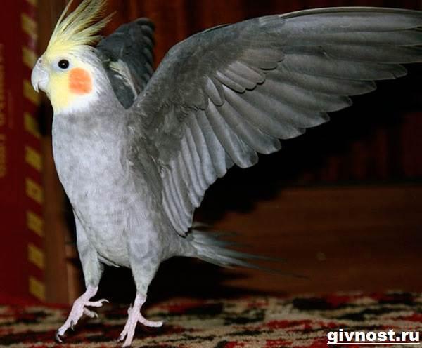 Попугай-корелла-птица-Описание-особенности-уход-и-цена-попугая-корелла-1