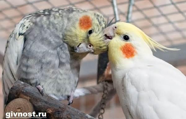 Попугай-корелла-птица-Описание-особенности-уход-и-цена-попугая-корелла-10