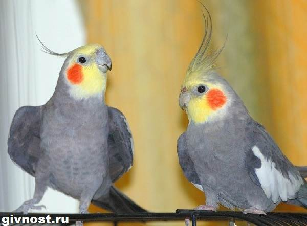 Попугай-корелла-птица-Описание-особенности-уход-и-цена-попугая-корелла-2
