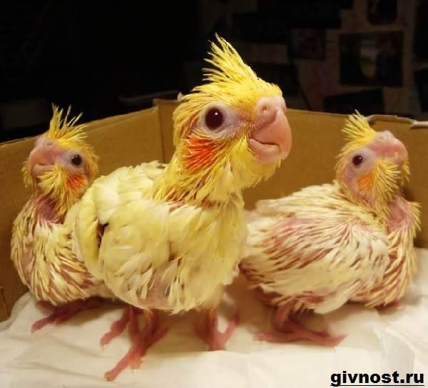 Попугай-корелла-птица-Описание-особенности-уход-и-цена-попугая-корелла-3