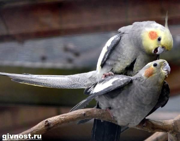 Попугай-корелла-птица-Описание-особенности-уход-и-цена-попугая-корелла-4