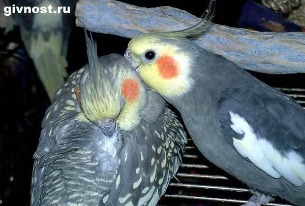 Попугай-корелла-птица-Описание-особенности-уход-и-цена-попугая-корелла-5