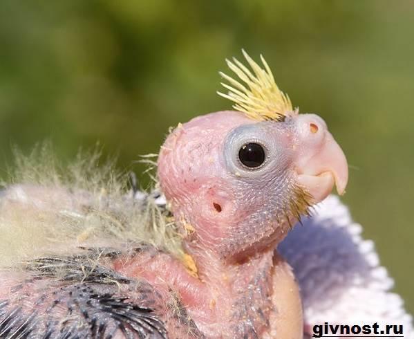 Попугай-корелла-птица-Описание-особенности-уход-и-цена-попугая-корелла-6