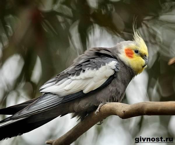 Попугай-корелла-птица-Описание-особенности-уход-и-цена-попугая-корелла-7