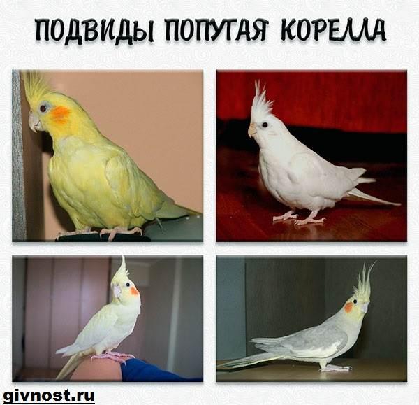 Попугай-корелла-птица-Описание-особенности-уход-и-цена-попугая-корелла-8