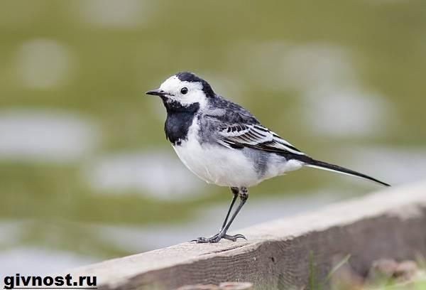 Трясогузка-птица-Образ-жизни-и-среда-обитания-трясогузки-1