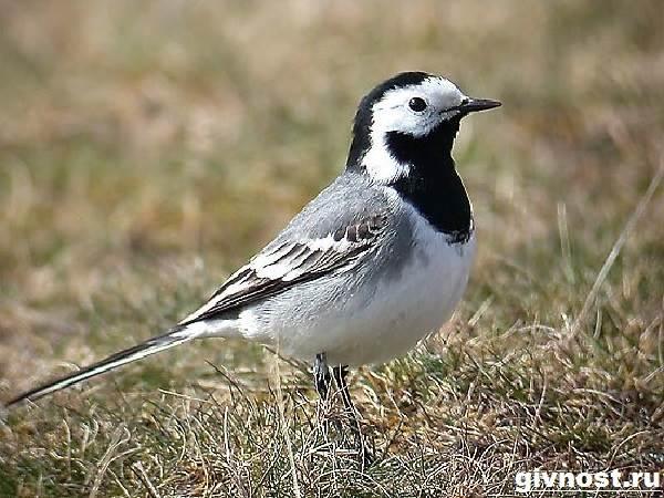 Трясогузка-птица-Образ-жизни-и-среда-обитания-трясогузки-2