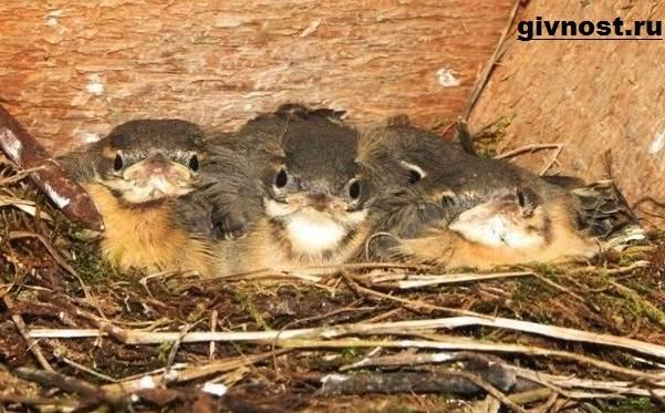 Трясогузка-птица-Образ-жизни-и-среда-обитания-трясогузки-3