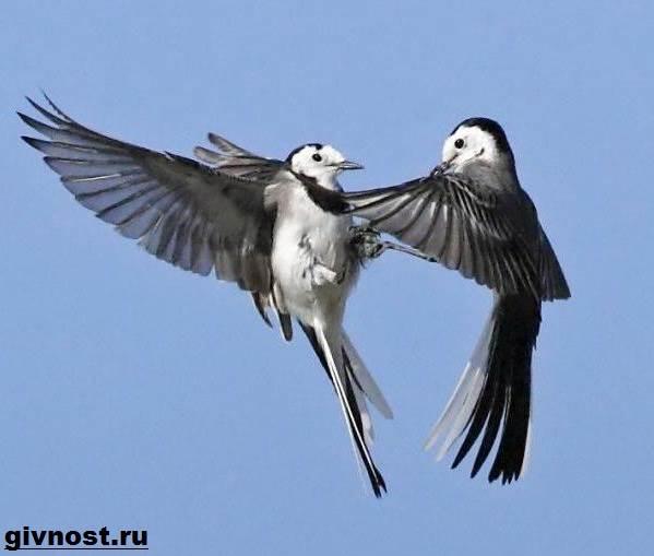Трясогузка-птица-Образ-жизни-и-среда-обитания-трясогузки-4