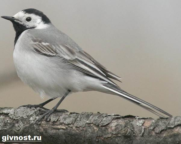 Трясогузка-птица-Образ-жизни-и-среда-обитания-трясогузки-8