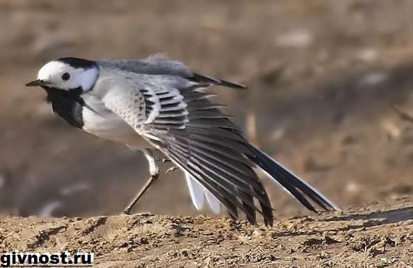 Трясогузка-птица-Образ-жизни-и-среда-обитания-трясогузки-9