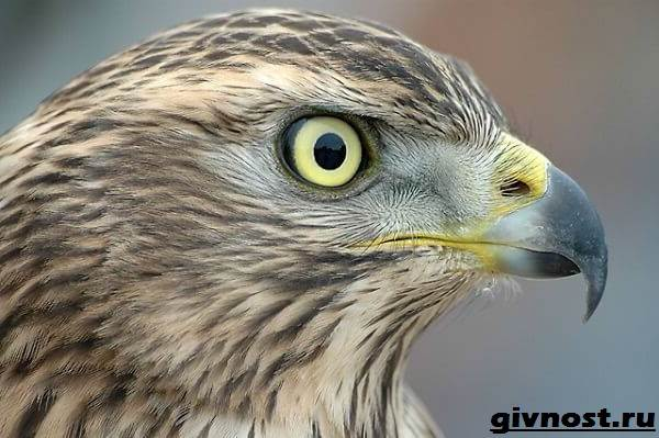 Ястреб-птица-Образ-жизни-и-среда-обитания-ястреба-10