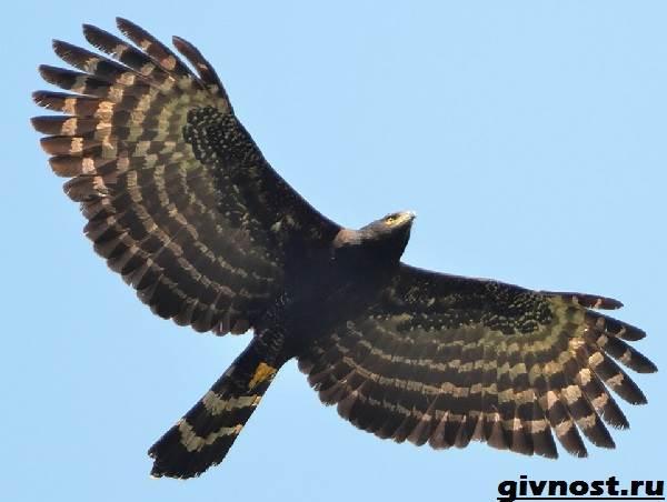 Ястреб-птица-Образ-жизни-и-среда-обитания-ястреба-3