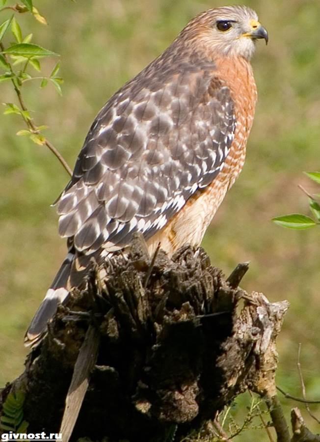 Ястреб-птица-Образ-жизни-и-среда-обитания-ястреба-5