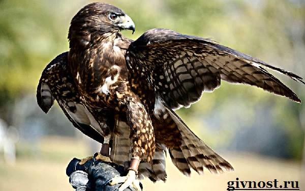 Ястреб-птица-Образ-жизни-и-среда-обитания-ястреба-6