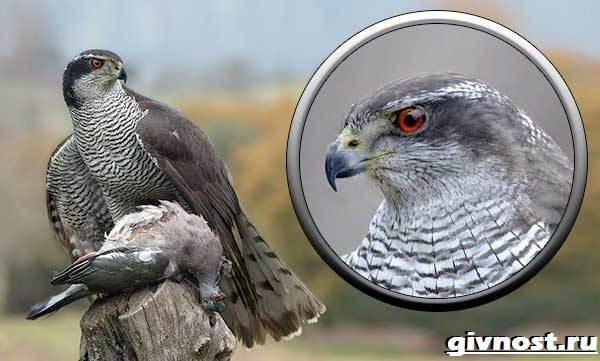 Ястреб-птица-Образ-жизни-и-среда-обитания-ястреба-7