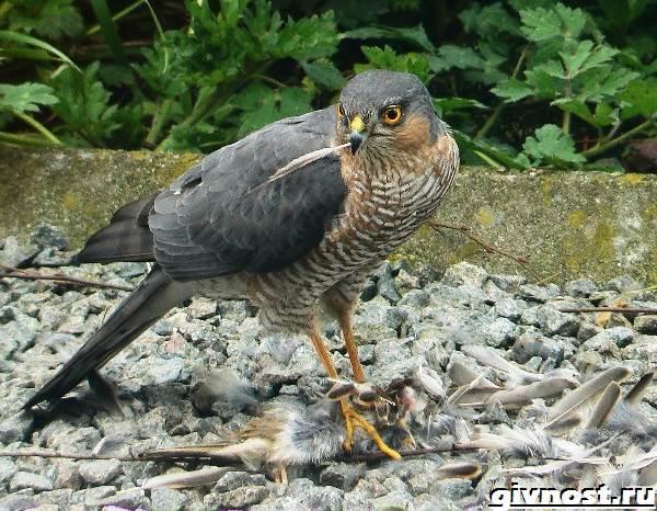 Ястреб-птица-Образ-жизни-и-среда-обитания-ястреба-8