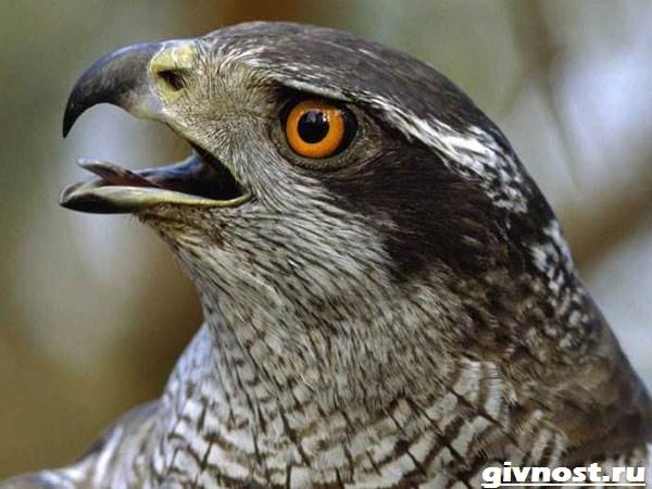 Ястреб-птица-Образ-жизни-и-среда-обитания-ястреба-9