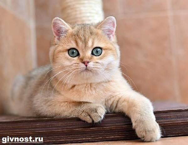 Золотая-шиншилла-кошка-Описание-особенности-уход-и-цена-породы-1