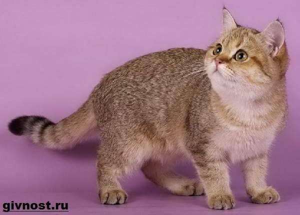 Золотая-шиншилла-кошка-Описание-особенности-уход-и-цена-породы-2