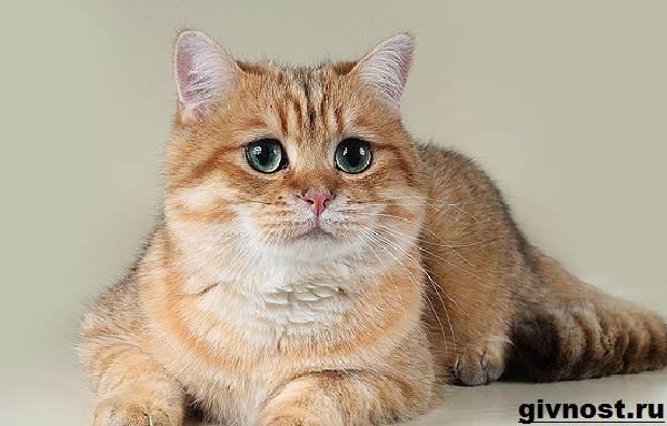 Золотая-шиншилла-кошка-Описание-особенности-уход-и-цена-породы-4