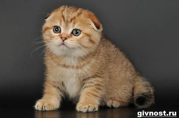 Золотая-шиншилла-кошка-Описание-особенности-уход-и-цена-породы-5