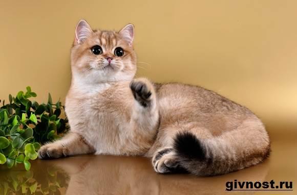 Золотая-шиншилла-кошка-Описание-особенности-уход-и-цена-породы-6
