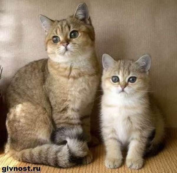 Золотая-шиншилла-кошка-Описание-особенности-уход-и-цена-породы-7