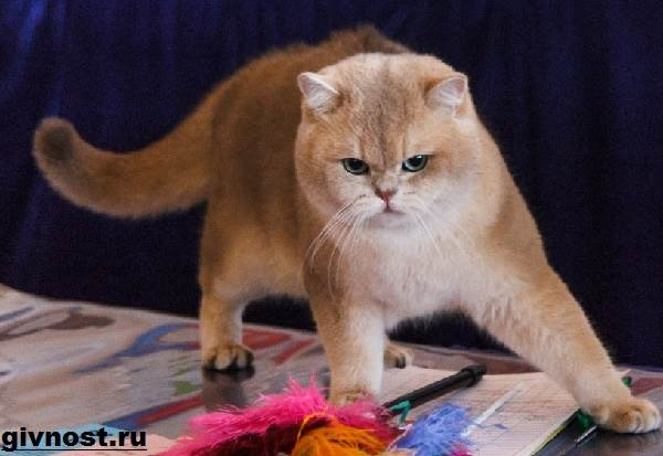кошек шиншилл фото
