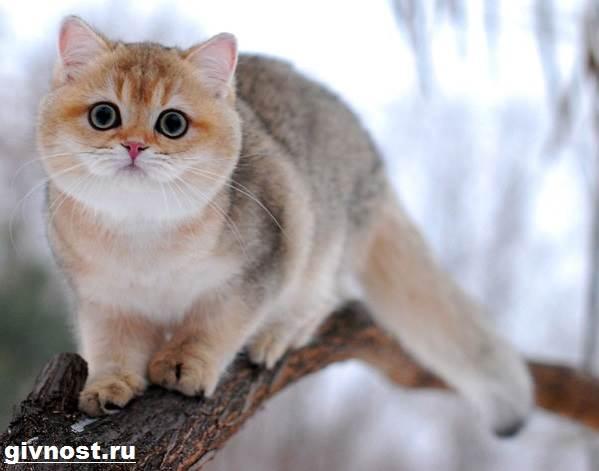 Золотая-шиншилла-кошка-Описание-особенности-уход-и-цена-породы-9
