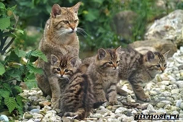 Лесной-кот-Образ-жизни-и-среда-обитания-лесного-кота-9