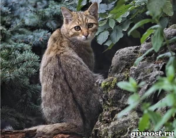 Лесной-кот-Образ-жизни-и-среда-обитания-лесного-кота