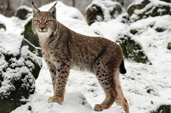 Животные-Украины-Описание-названия-и-особенности-животных-Украины-7
