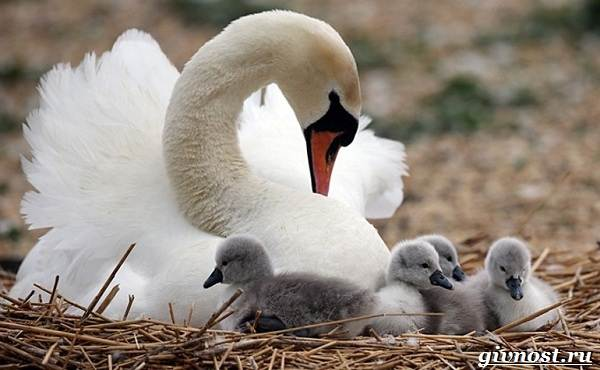 Лебедь-птица-Образ-жизни-и-среда-обитания-лебедя-11