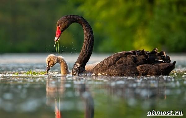 Лебедь-птица-Образ-жизни-и-среда-обитания-лебедя-12