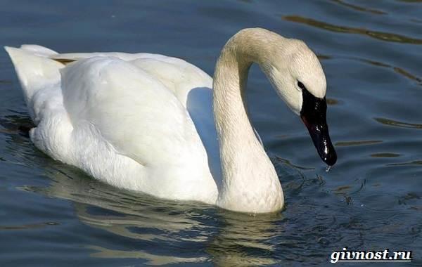 Лебедь-птица-Образ-жизни-и-среда-обитания-лебедя-18