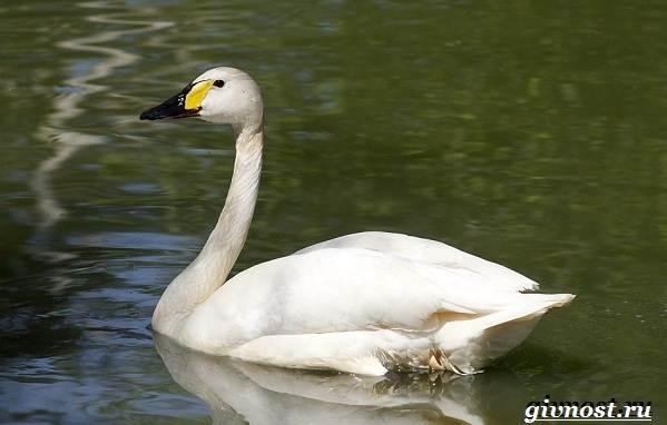 Лебедь-птица-Образ-жизни-и-среда-обитания-лебедя-20