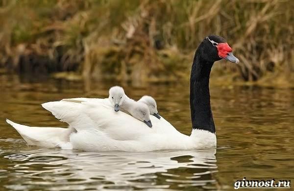 Лебедь-птица-Образ-жизни-и-среда-обитания-лебедя-21