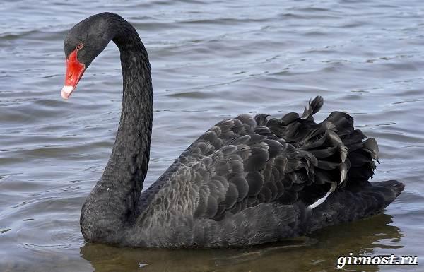 Лебедь-птица-Образ-жизни-и-среда-обитания-лебедя-22