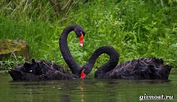 Лебедь-птица-Образ-жизни-и-среда-обитания-лебедя-24