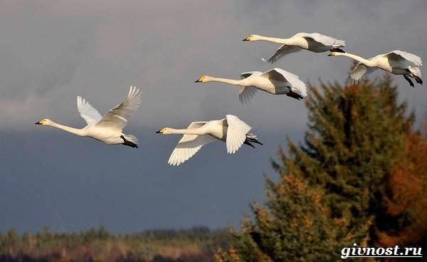 Лебедь-птица-Образ-жизни-и-среда-обитания-лебедя-25